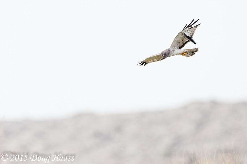 Male Northern Harrier Circus cyaneus