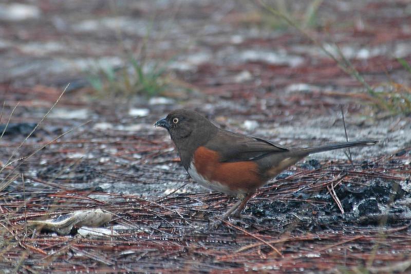 Towhee - Eastern - female - St. George Island State Park - FL - 01