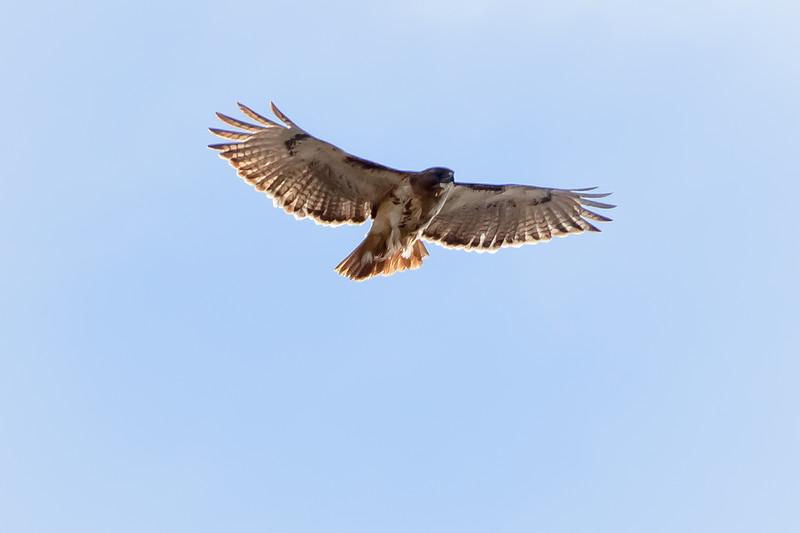 Hawk 1-8110.jpg