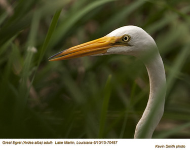 Great Egret A70487.jpg