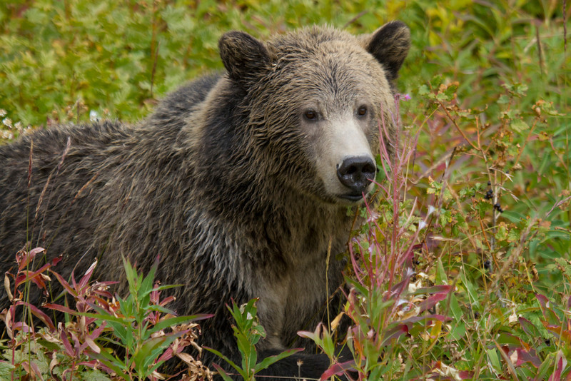 grizzly bear0411.JPG