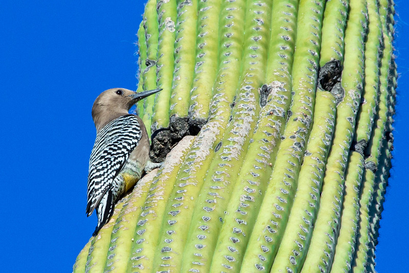 Sabino Woodpecker 3-6-2018-4142.jpg