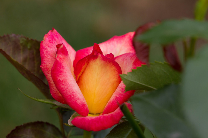 Rose - Rainbow Sorbet Rose - Rainbow Sorbet
