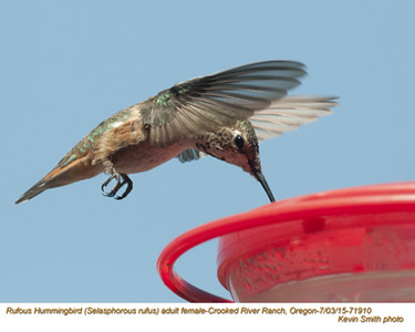 Rufous Hummingbird F71910.jpg