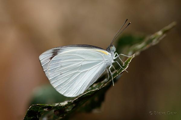 Glistening Pearl-white