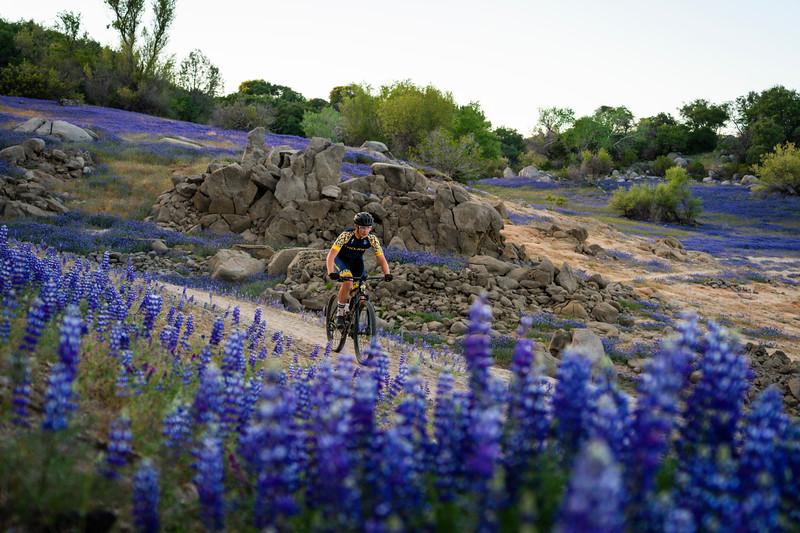 Mountain Biker in Lupine Flowers
