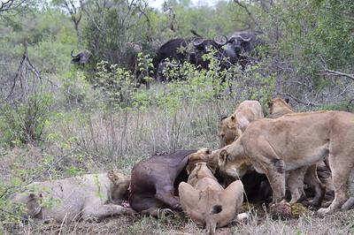 11-2-2017 Makanyi Final Ride - 9 lions and a Buffalo