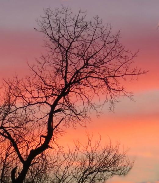 PINK TREE AT SUNRISE