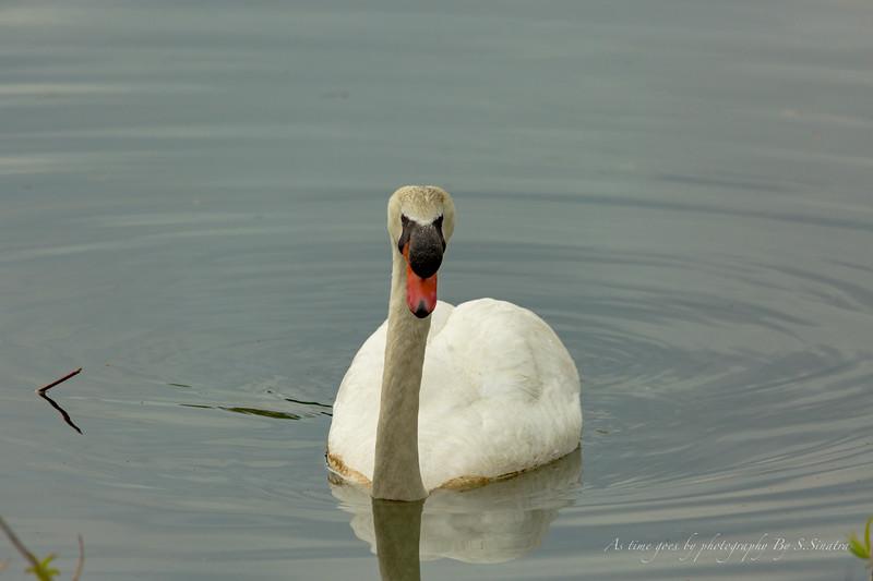 mute swan signed-45.JPG