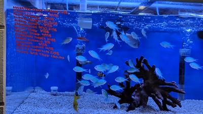 2018-09-25 - Reef tank - Green Chromis fish at store