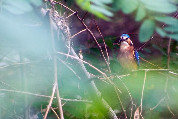 Family: Alcedinidae (alcedinid kingfishers)