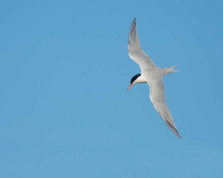 Roseate Tern, Lady Elliot Island, QLD, Dec 2015-17.jpg