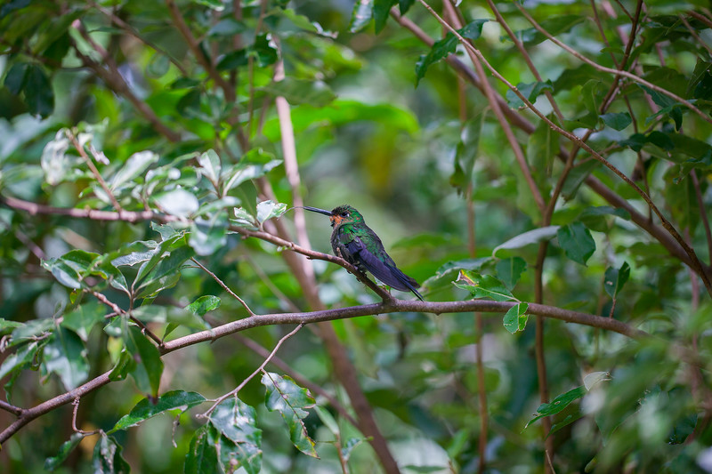 FIERY-THROATED HUMMINGBIRD 1-2.jpg