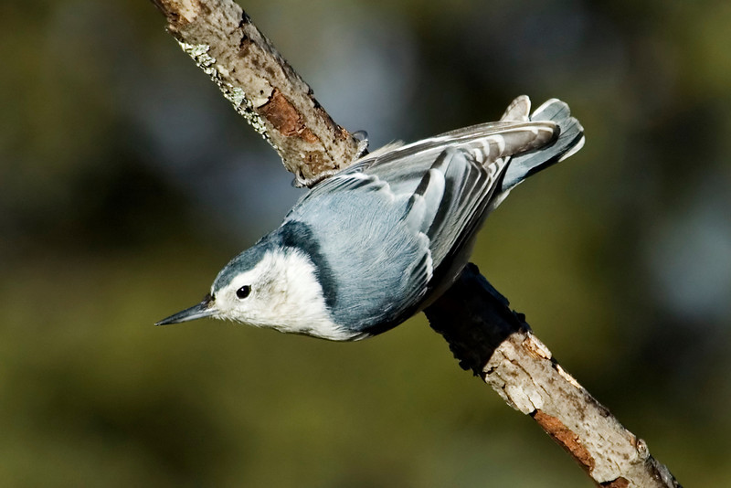 Nuthatch - White-breasted - female - Dunning Lake, MN