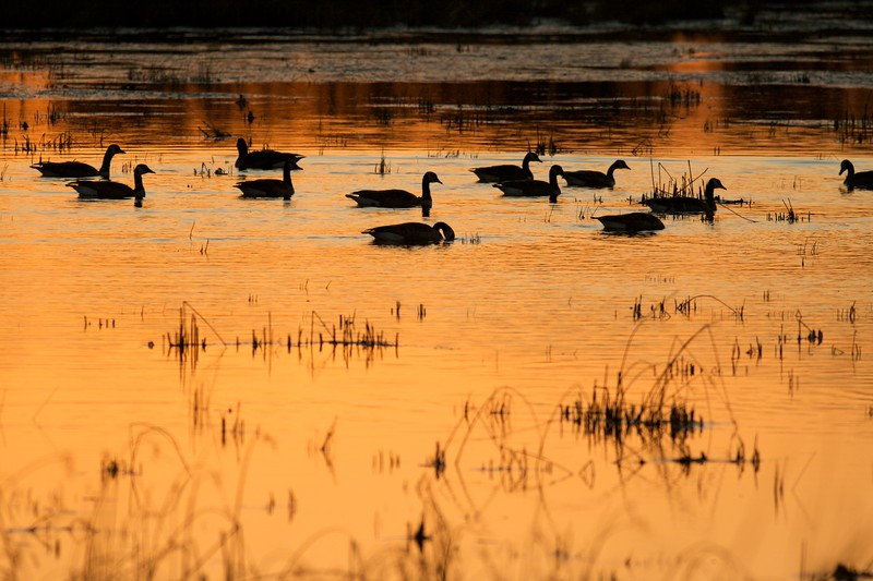 Flock of Canada Geese at Crex Meadows [October near Grantsburg, Wisconsin]w