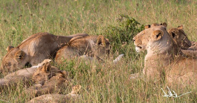Lions Masai Mara - S-1.jpg