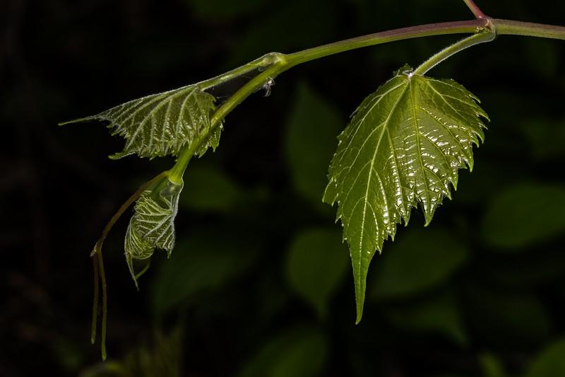 DSC_1860 Grape Vine  New Shoot +Spider PS- LL NEF.jpg