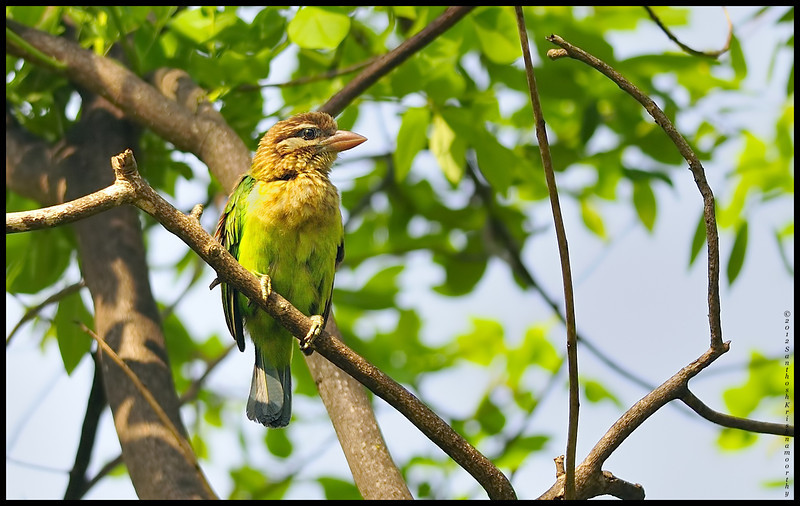 White cheeked Barbet.....