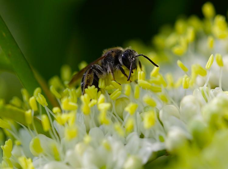 Leaf Cutter Bee