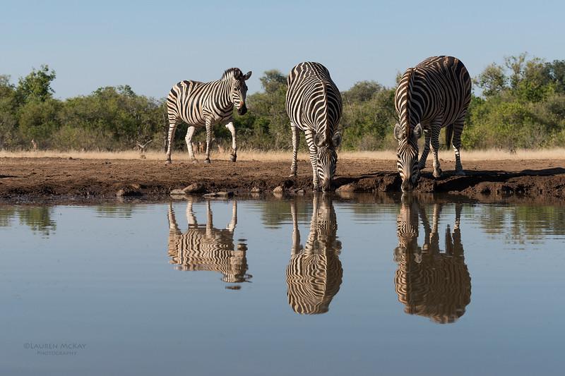 Burchell's Zebra, Mashatu GR, Botswana, May 2017-5.jpg