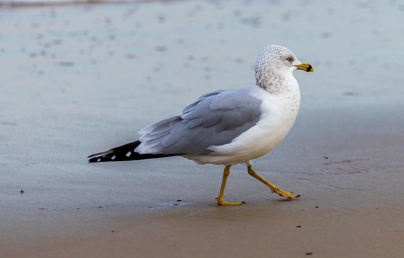 SeagullSandbridgeBeach-003
