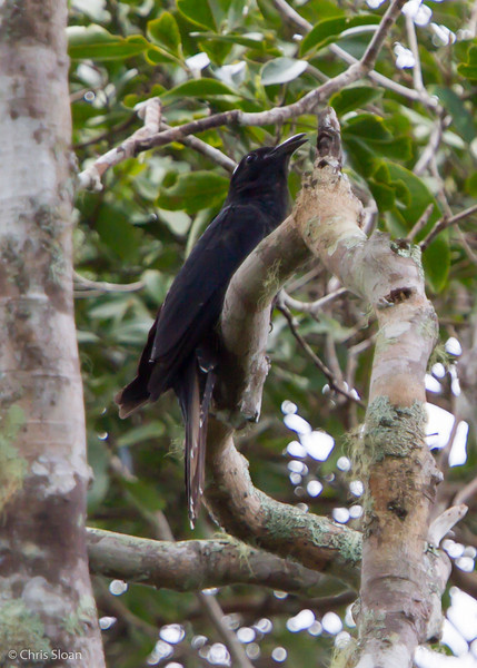 White-crowned Koel at Varirata National Park, Papua New Guinea (10-14-2013) 019-94.jpg