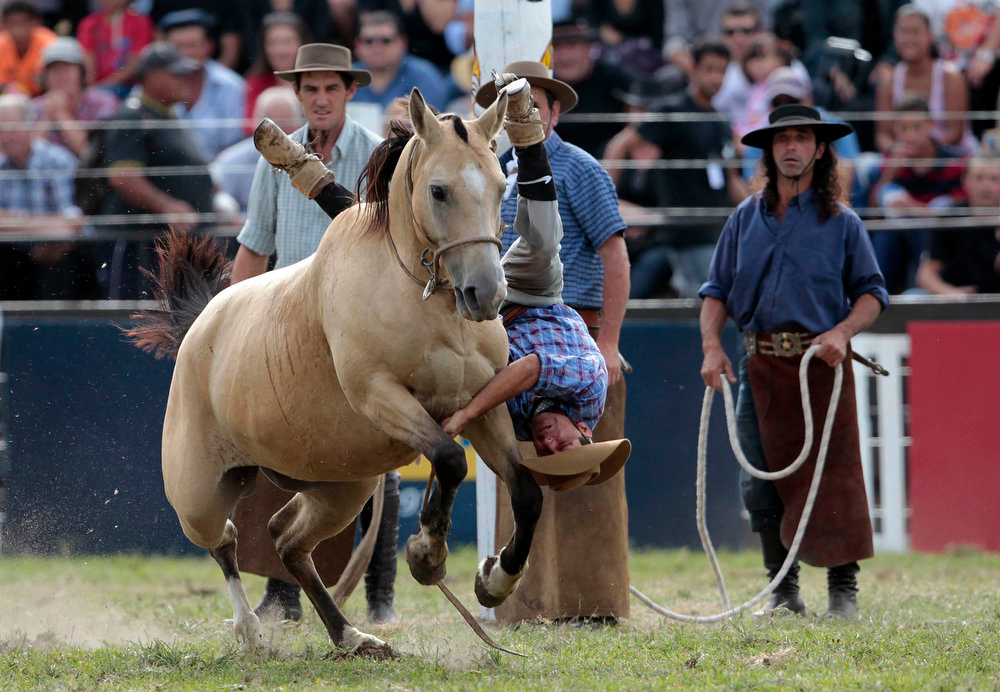 ". A gaucho is unseated by an unbroken horse during the annual celebration of Criolla Week in Montevideo, March 25, 2013. Throughout Easter Week ""gauchos\"", the Latin American equivalent of the North American \""cowboy\"", from all over Uruguay and neighboring Argentina and Brazil visit Montevideo to participate in Criolla Week to win the award of best rider. The competition is held March 24 - March 30. REUTERS/Andres Stapff"
