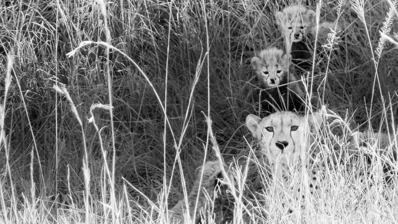 Mother Cheeta and kittens - Maasai Mara National Reserve, Narok, Kenya