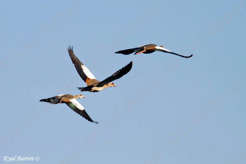 Egyptian Goose, Nilgans, Alopochen aegyptica