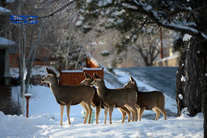 . Deer come down from the foothills for a walk up 7th Street in Boulder Colorado, Wednesday, December 19,  2012.    Joe Amon, The Denver Post