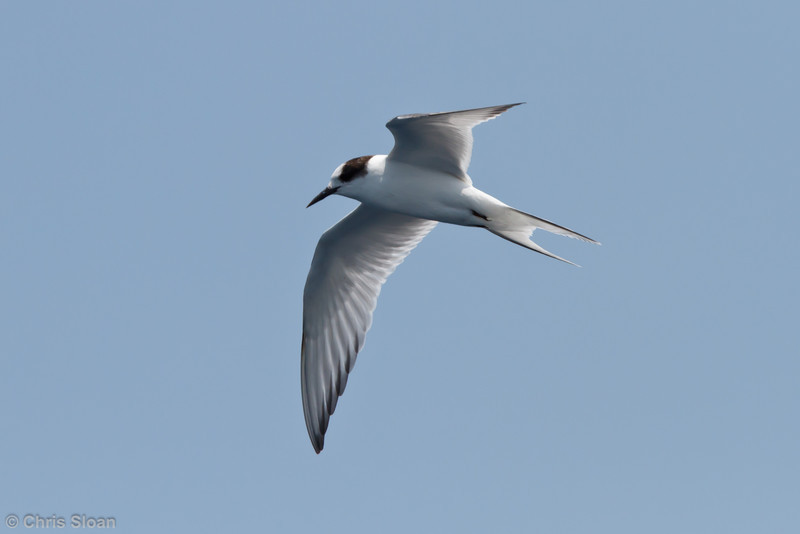 Arctic Tern first summer at pelagic trip off Hatteras, NC (06-04-2011) - 029.jpg