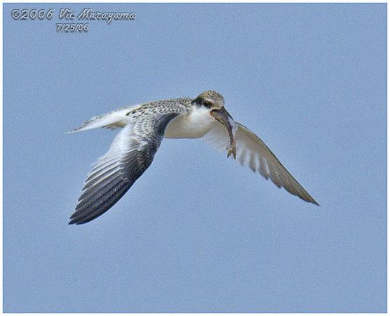 Least Tern Colony - Huntington Beach, CA
