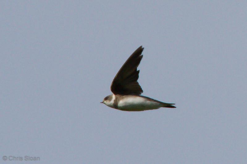 Bank Swallow at Duck River Unit, TNNWR, TN (08-18-2012)-11.jpg
