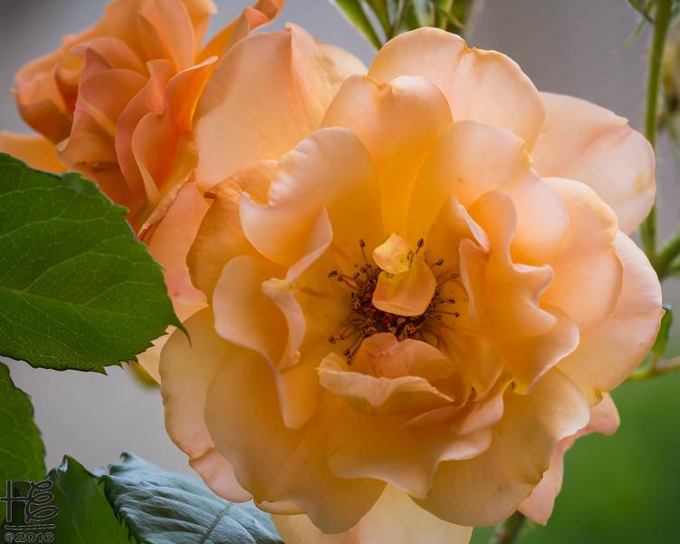 Full-bloom rose