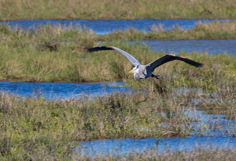 A Great Blue Heron flies over the distant marshes.