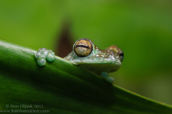 Amphibians - Central America