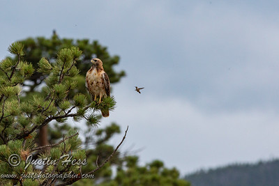 Red-tailed Hawk and Hummingbird 08-01-2020
