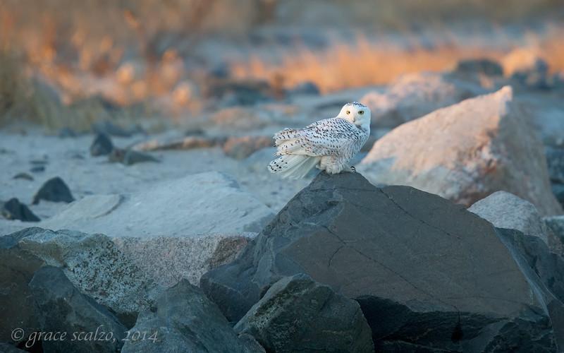 Snowy Owl on Rocks_O8U6641.jpg