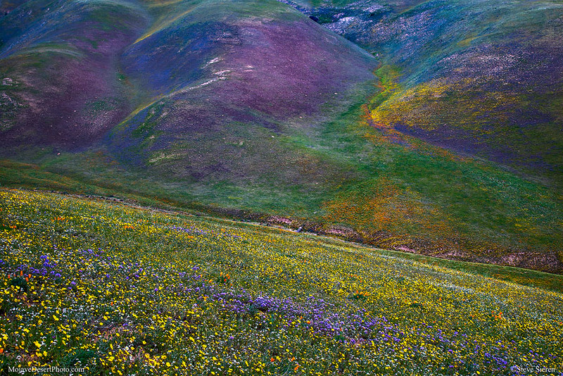 Gorman_Wildflowers_Psychodelic_Carpet_1231.jpg