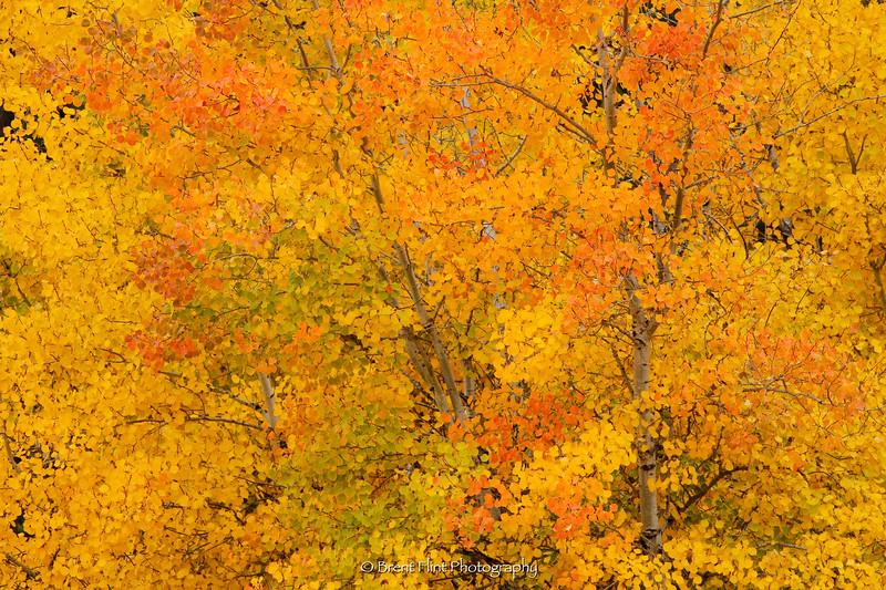 DF.2452 - aspen, fall color, Turnbull National Wildlife Refuge, WA.