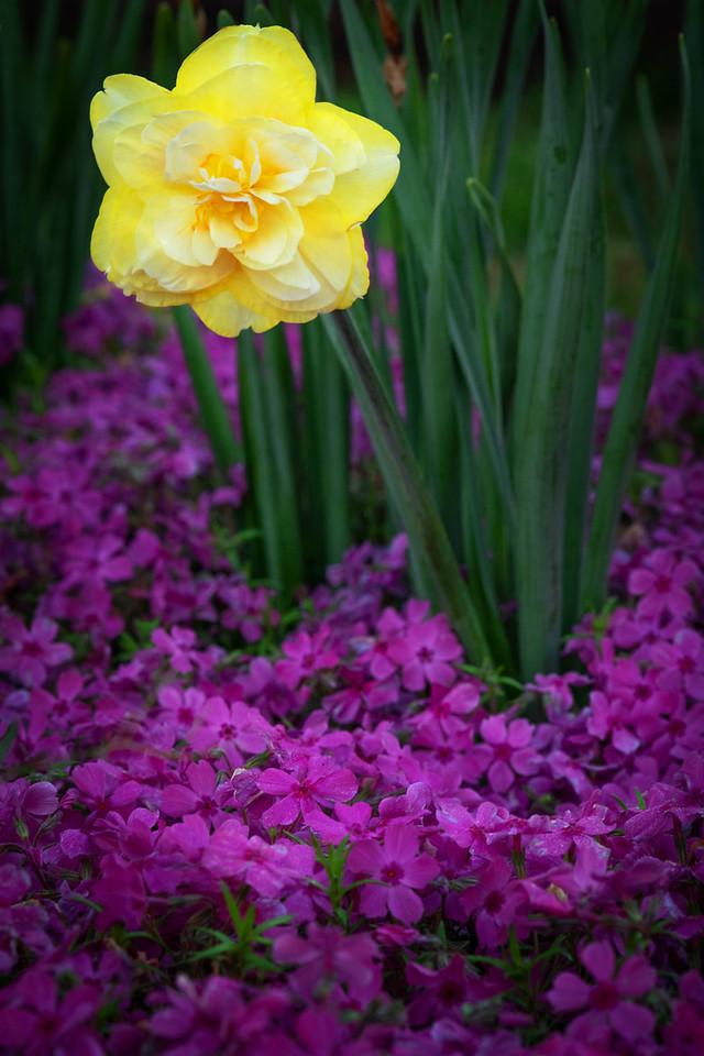 Daffodil and Phlox