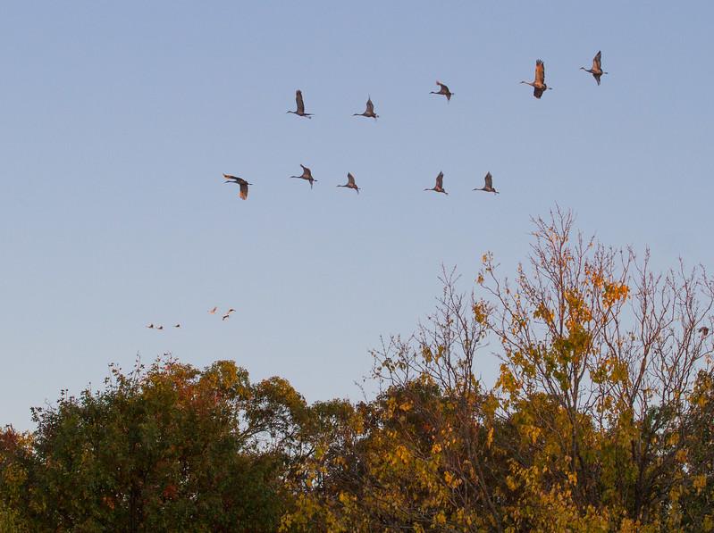 Sandhill Crane flock fly-in Crex Meadows Grantsburg WI IMG_0057.jpg