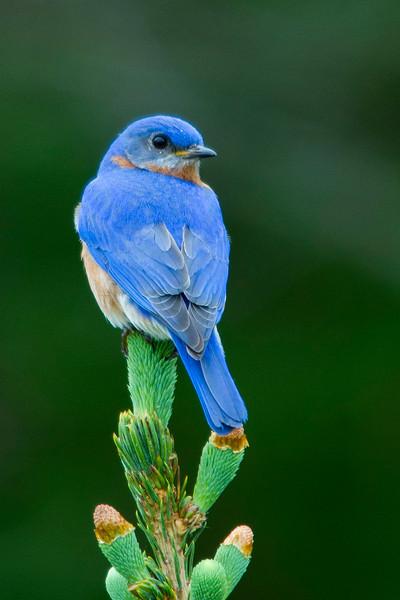 blue bird lr sumg.jpg