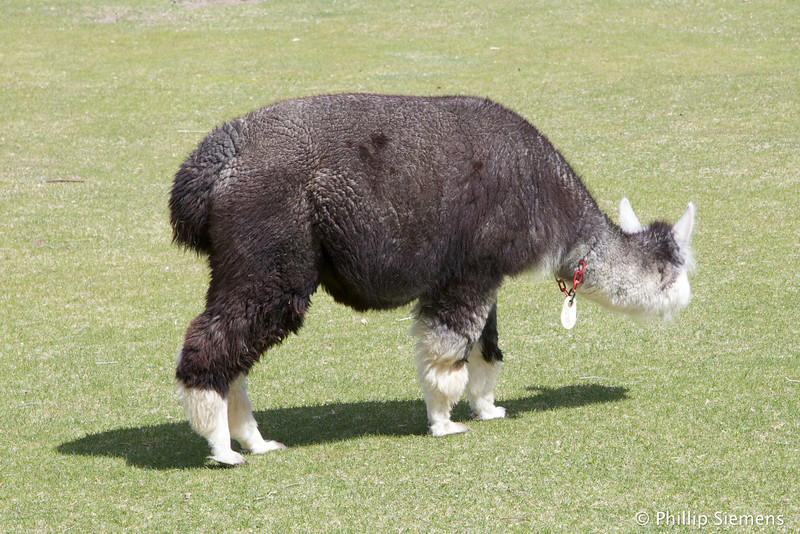 Alpaca (pregnant)