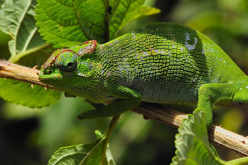 Chameleon-Lake-Chala.jpg