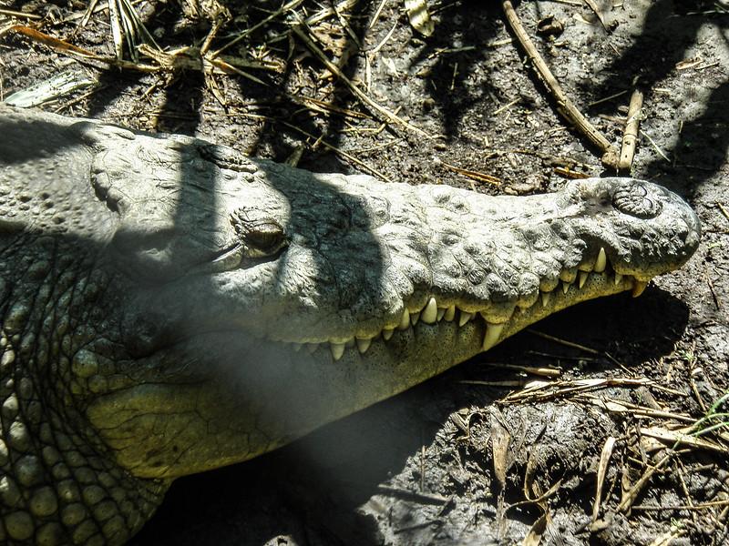 080316, Croc @ Zoo.jpg