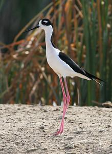 Sandpipers, Snipes, Stilts, & Other Shorebirds