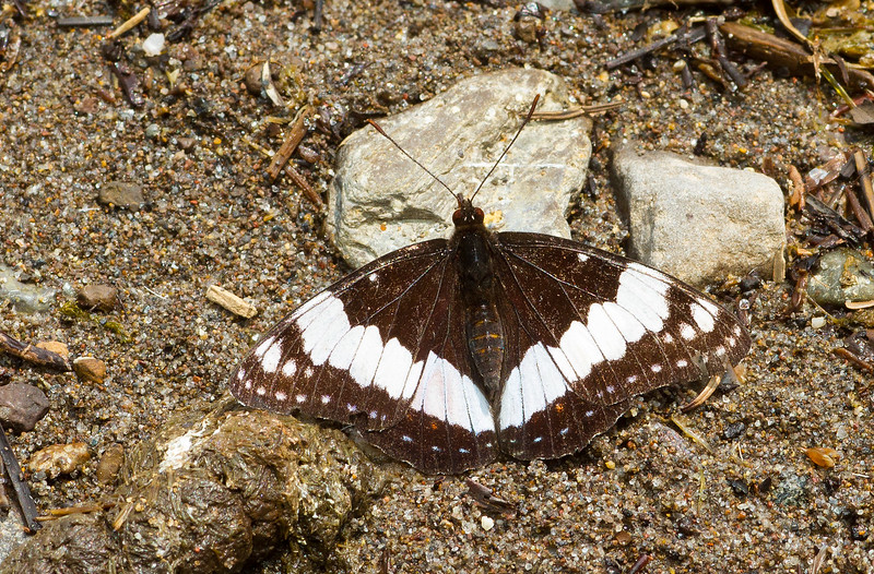 Weidemeyer's Admiral (Limenitis weidemeyerii, Nymphalidae) from Grand Teton National Park in Wyoming.