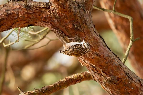 2020 - Broadwater Warren February 008 tree creeper