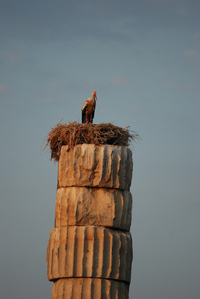 White stork on nest, Temple of Artemis, Selcuk, Turkey